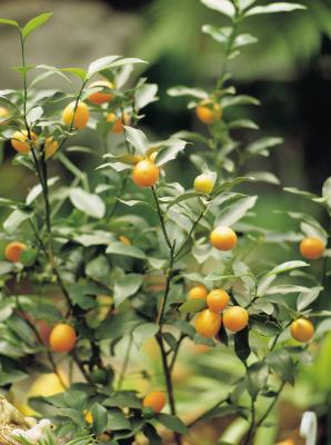 How To Start Bonsai Orange Seeds