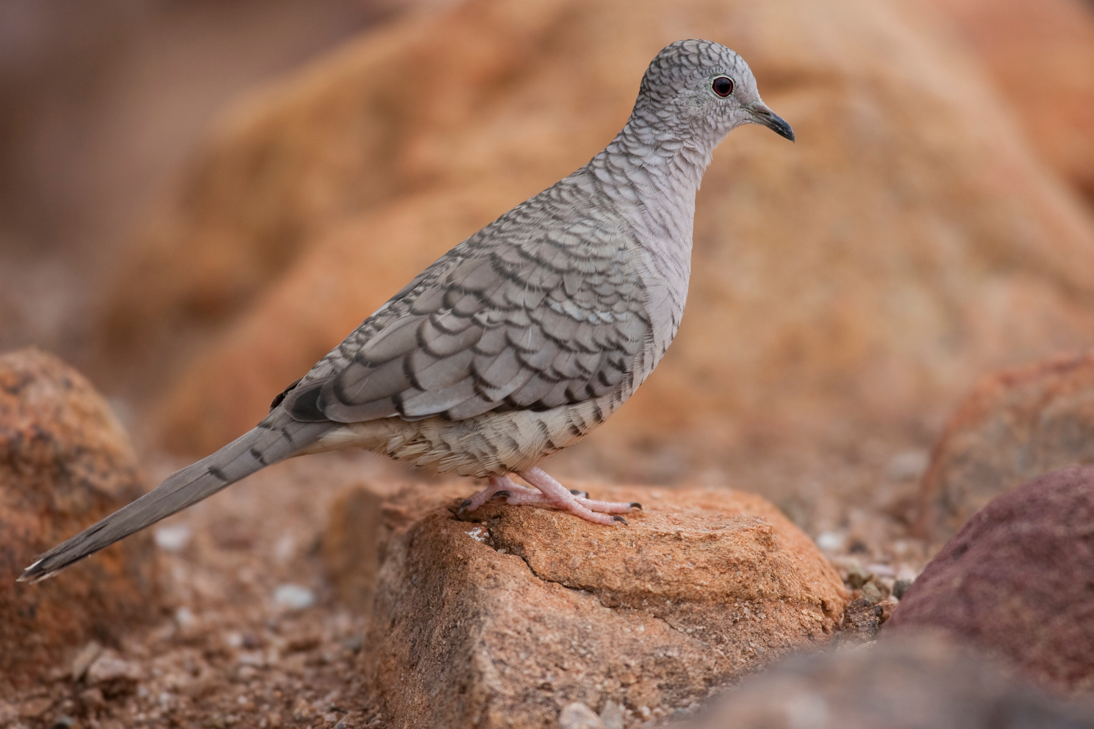 Characteristics Of Doves Sciencing