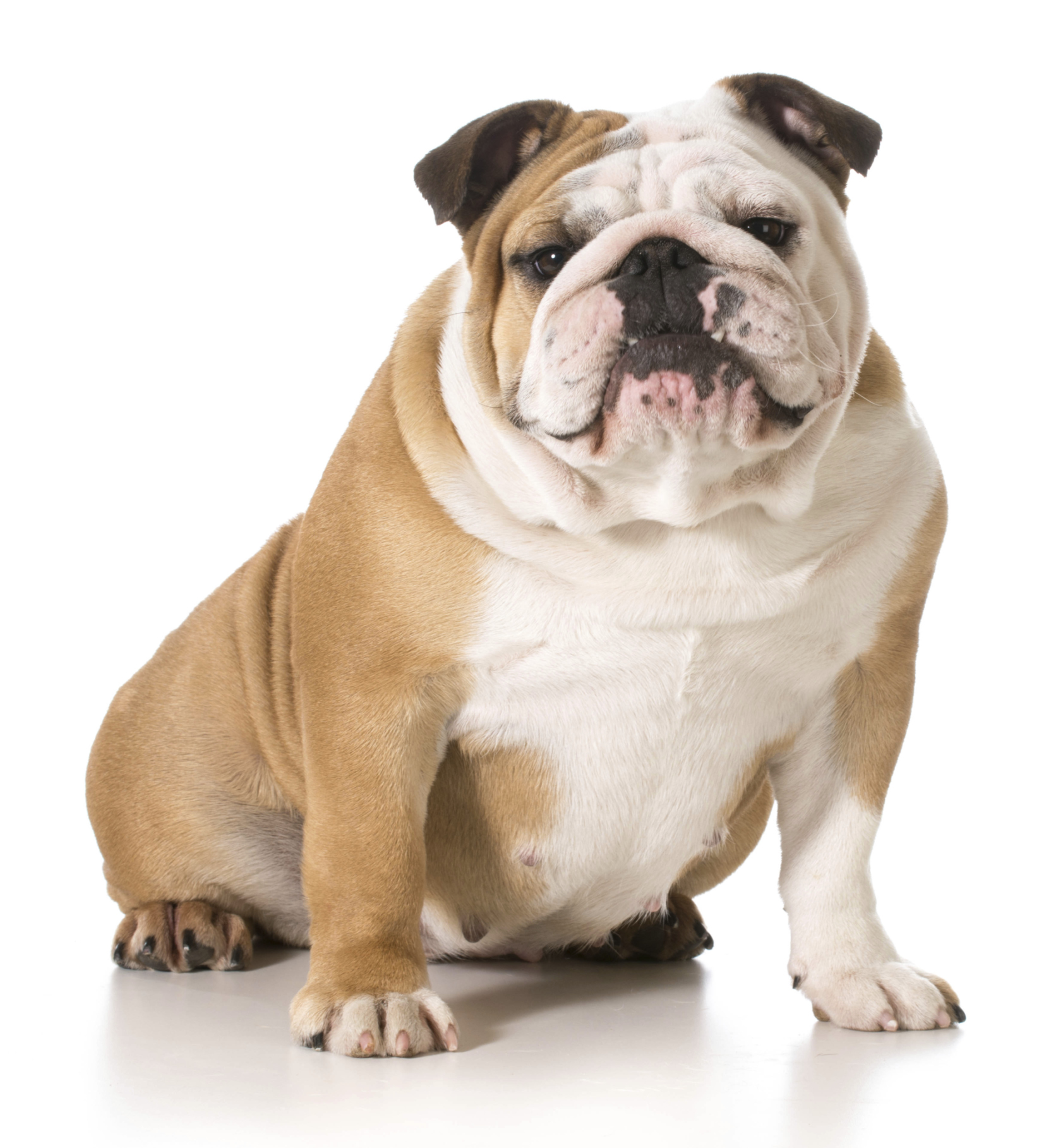 How to Treat Respiratory Problems in Bulldogs How to Treat Respiratory Problems in Bulldogs new pics