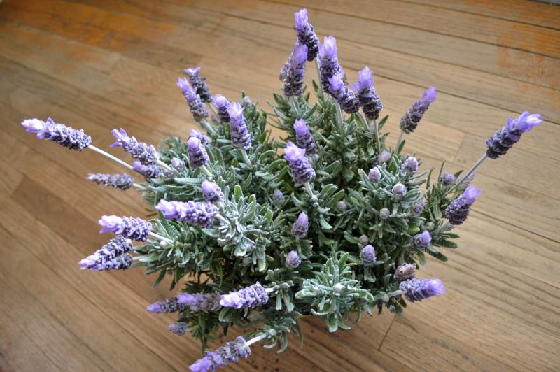 Different Lavender Plants Home Guides Sf Gate