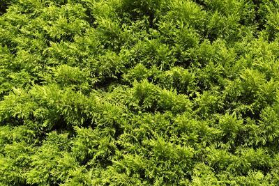 How to Prune a Sprawling Juniper Bush
