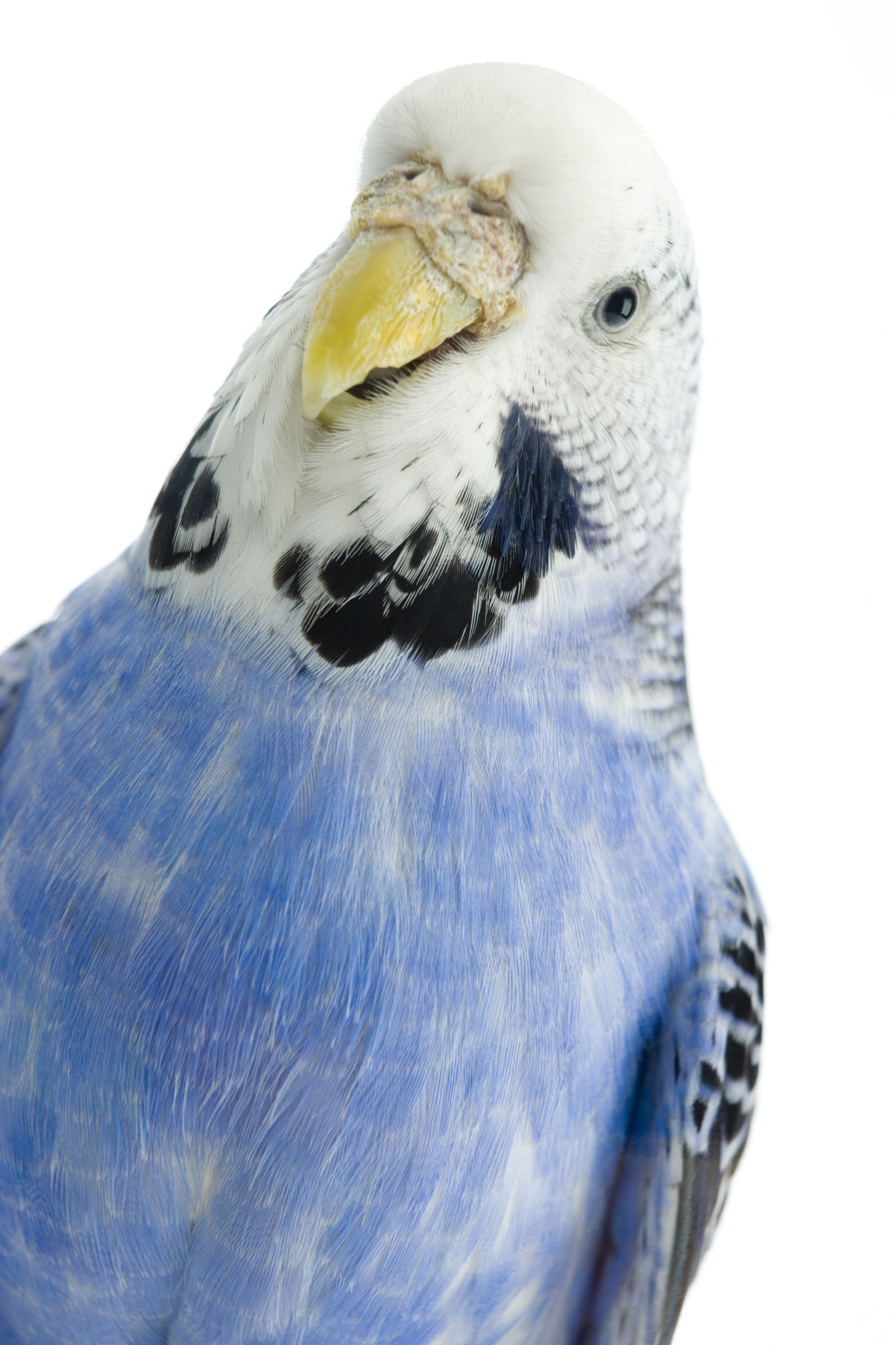 Why Does a Parakeet Twitch? | Animals - mom me