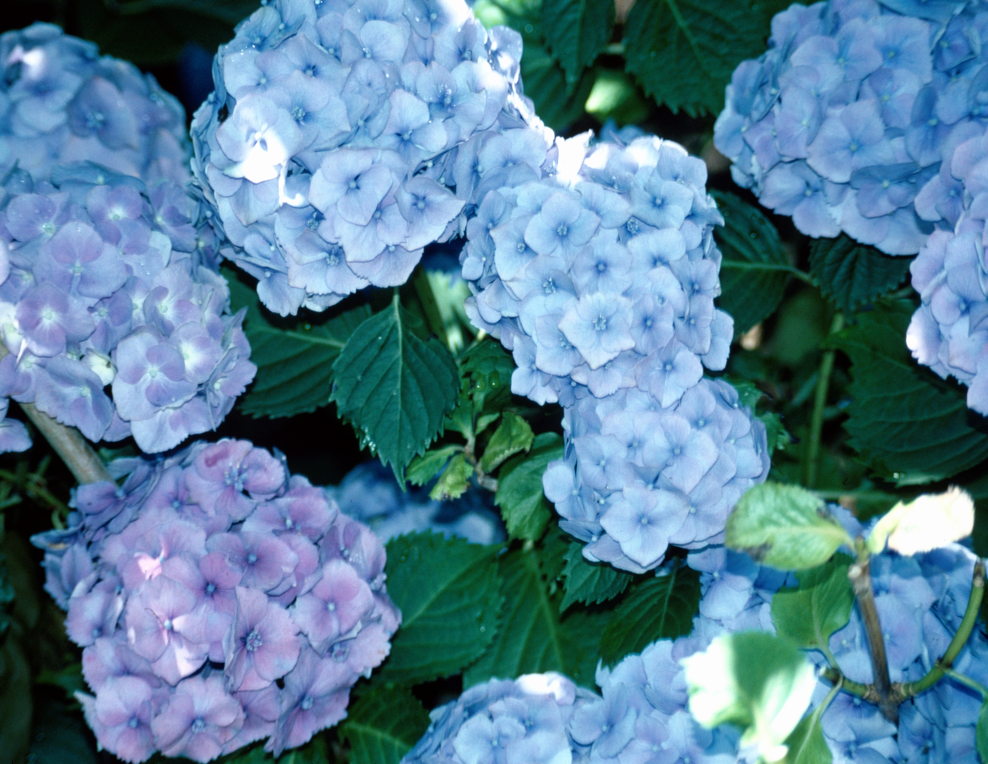 Hydrangeas Coffee Grounds Home Guides Sf Gate