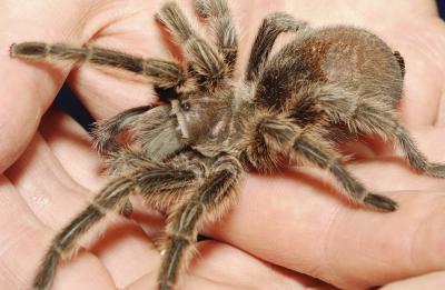 What Different Tarantula Stances Mean Animals Mom Com