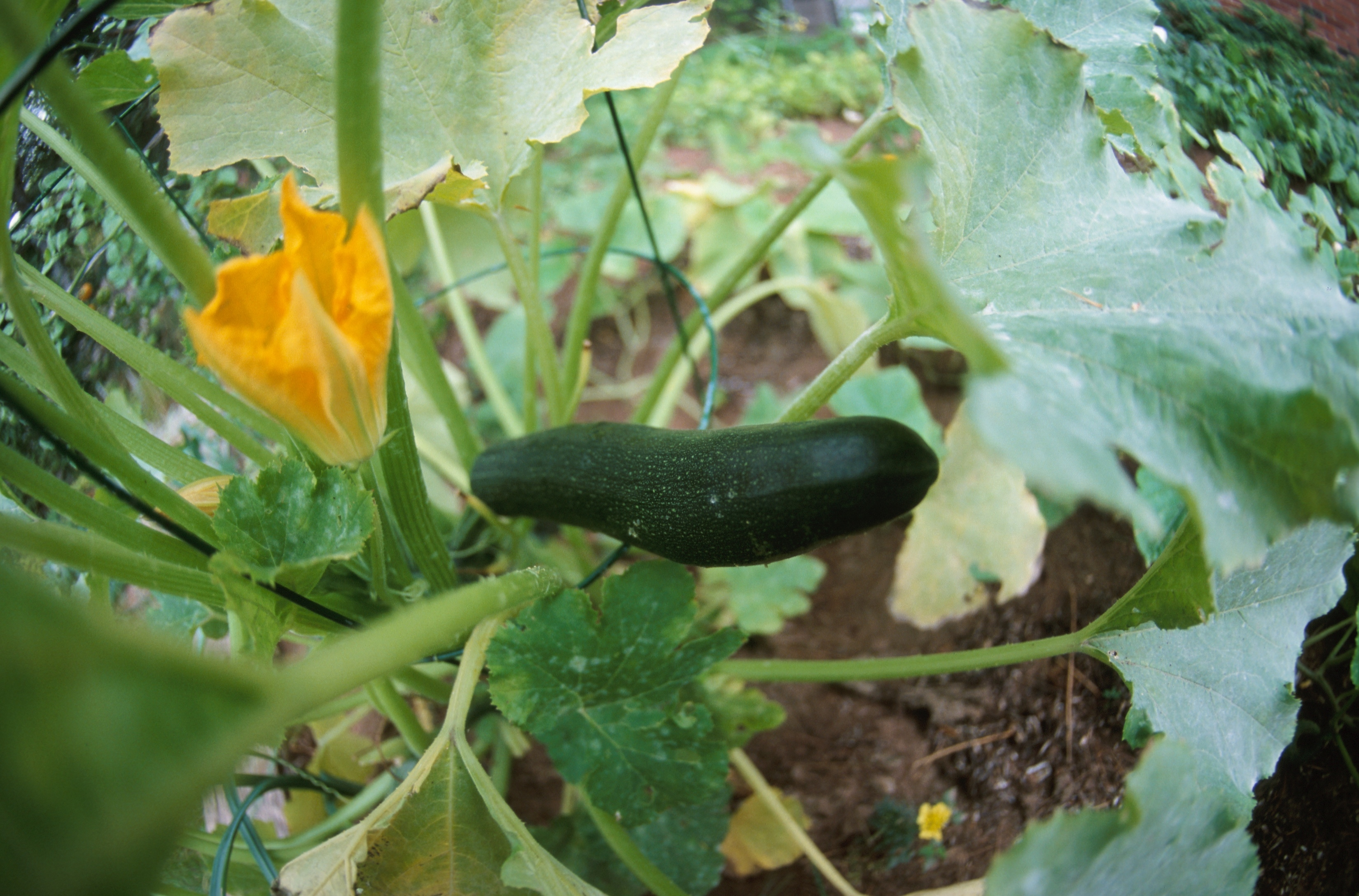 When to plant zucchini