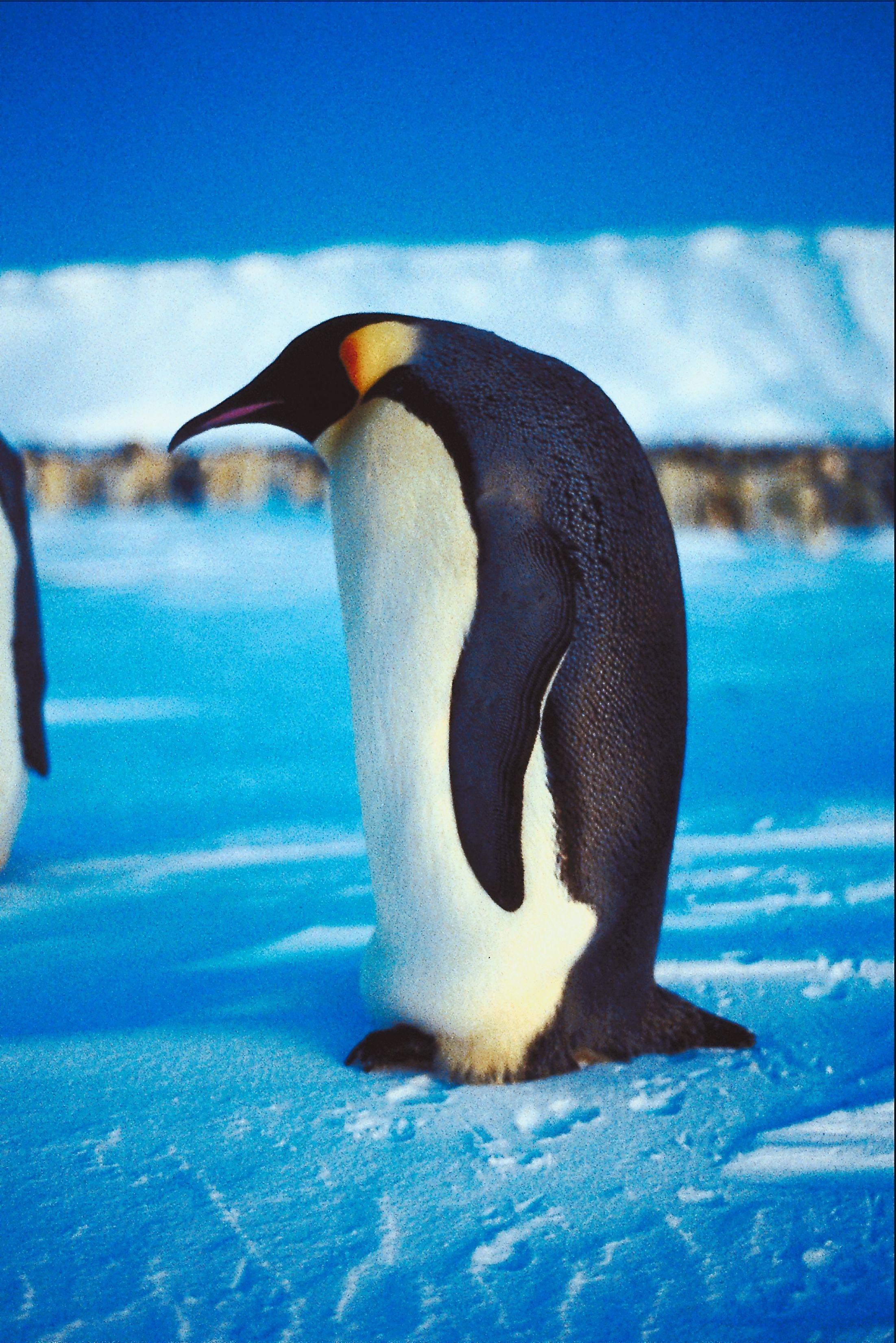 short note on penguin bird
