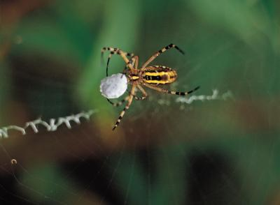 Spider Control With Peppermint Oil
