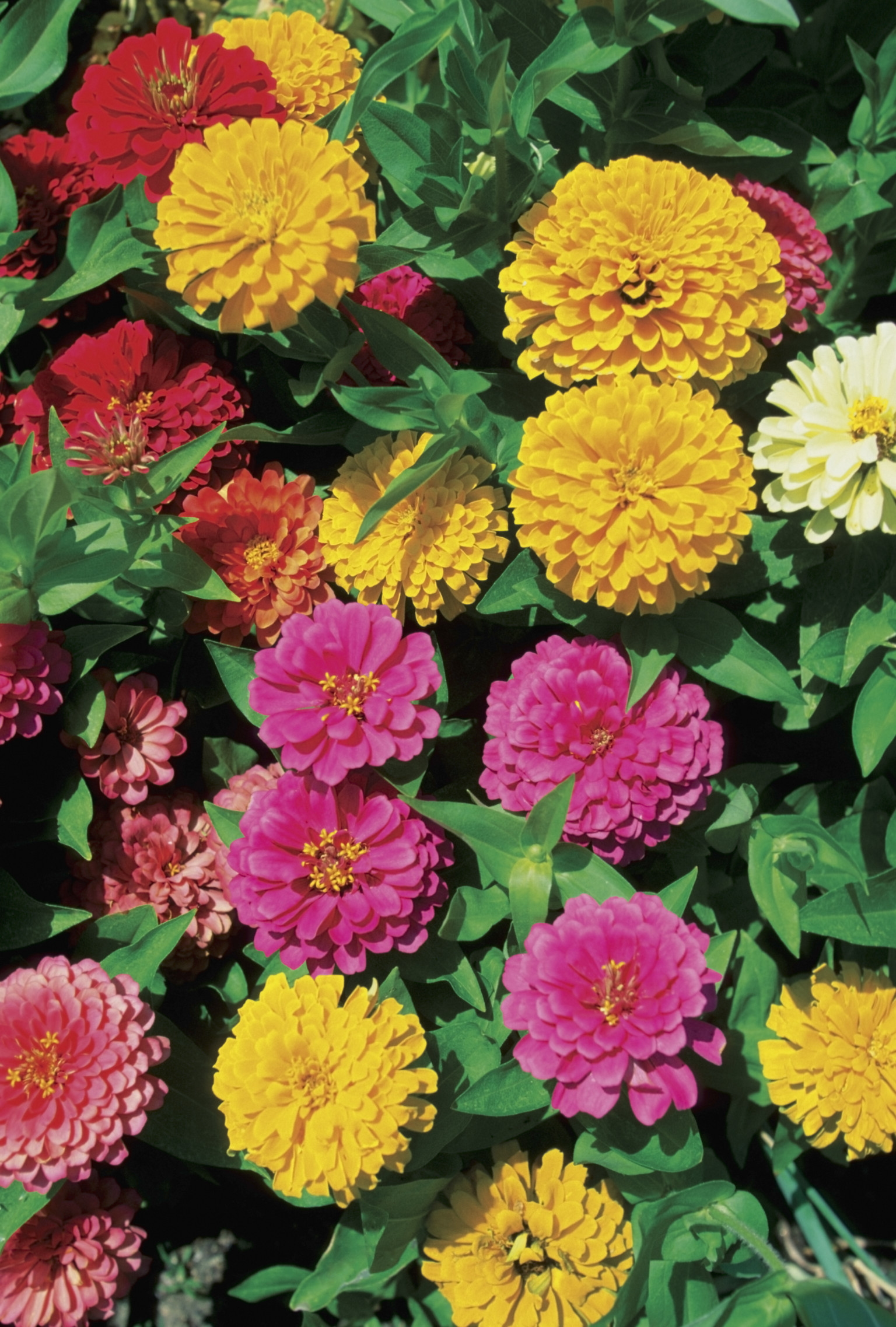 What Do Saved Zinnia Seeds Look Like Home Guides Sf Gate