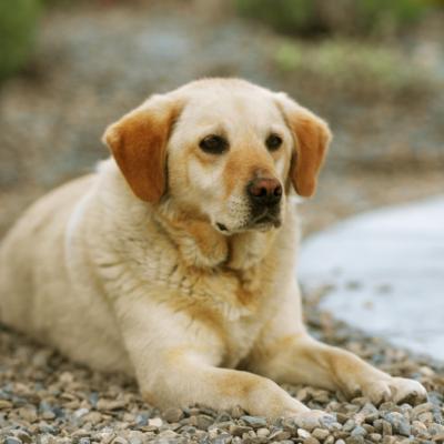 Labradors Pregnancy