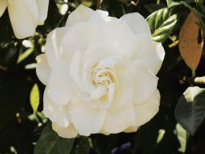 Why Don T The Gardenia S Flowers Open Home Guides Sf Gate