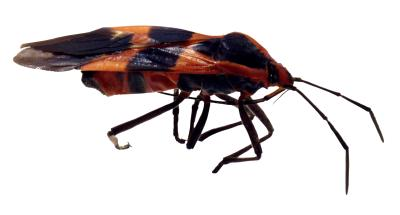 stages of development for milkweed bugs  animals  mom