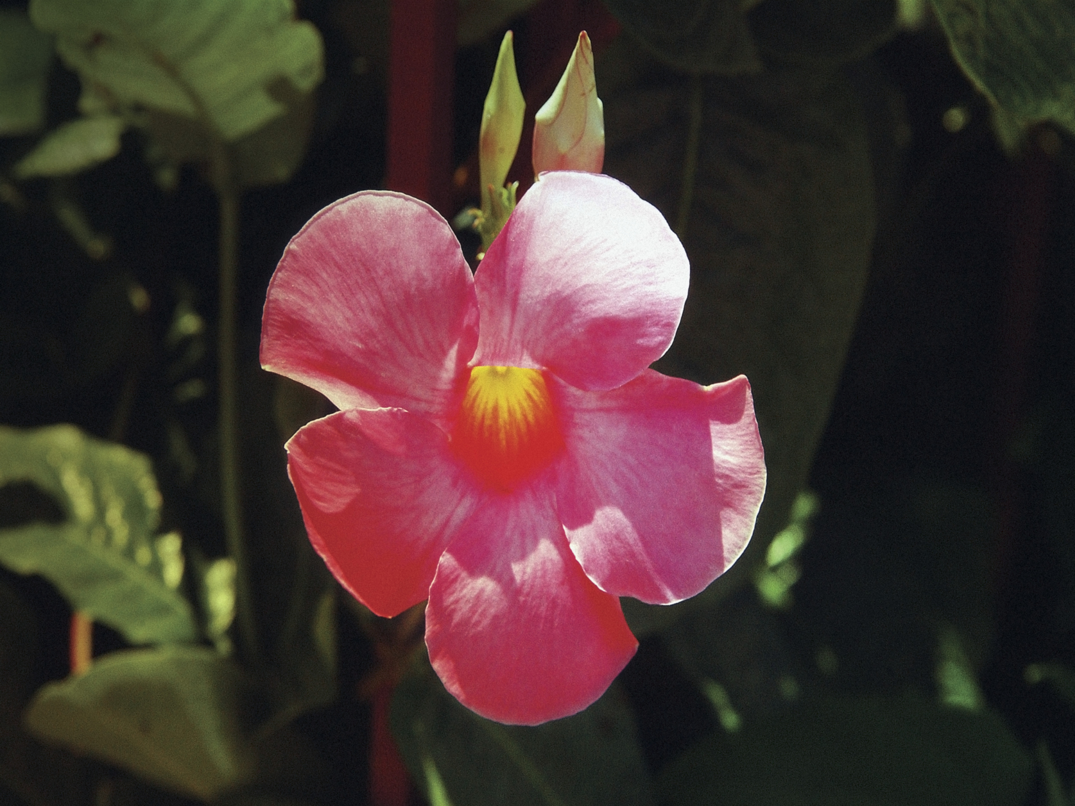 Tips On Caring For The Mandevilla Vine Home Guides Sf Gate