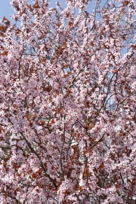 Fast Growing Flowering Cherry Trees
