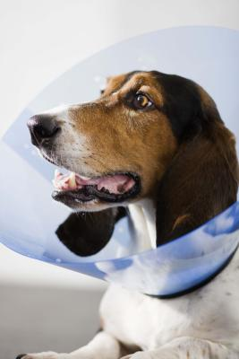 Dog Cone on After Neutering