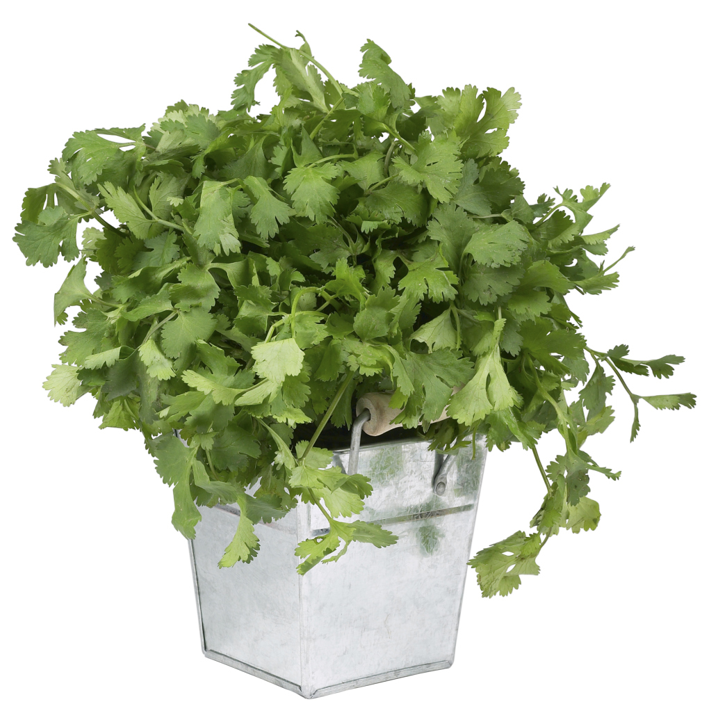 Growing Cilantro From Refrigerated Cuttings Home Guides Sf Gate,Bird Wings Folded