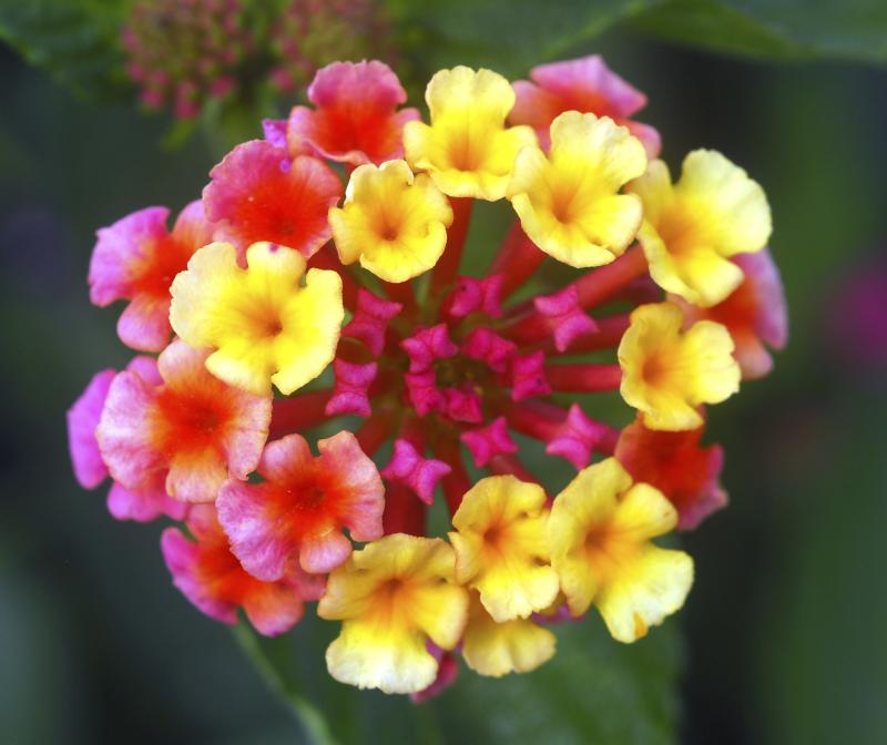 Where Are The Seeds In A Lantana Shrub Home Guides Sf Gate