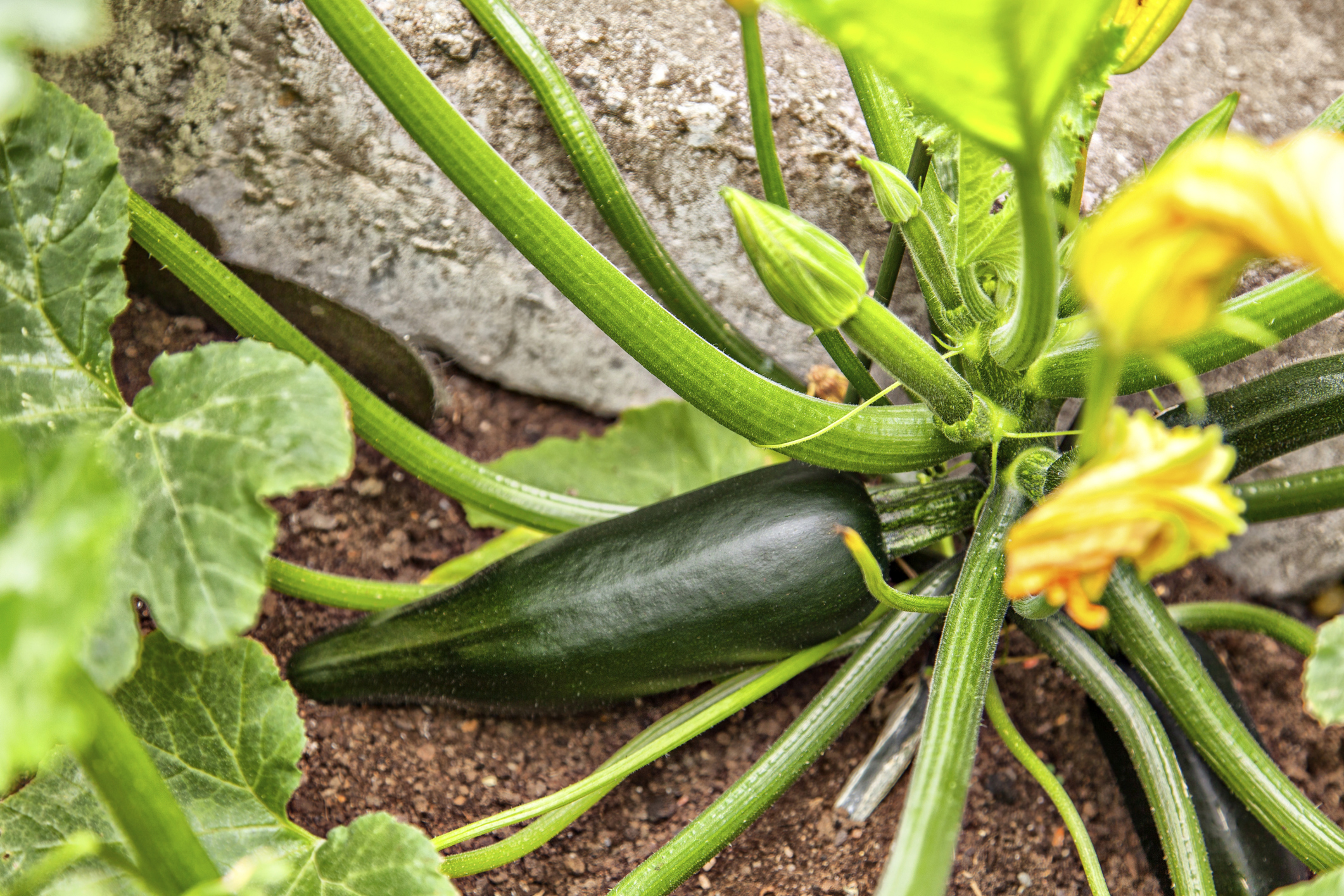 When to Pick a Zucchini | Garden Guides