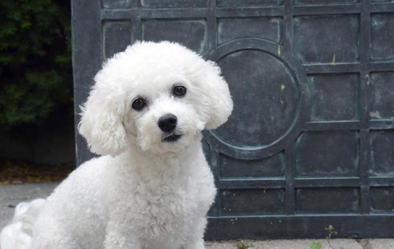 bichon frise haircut how to care for the coat of a bichon frise care 4361