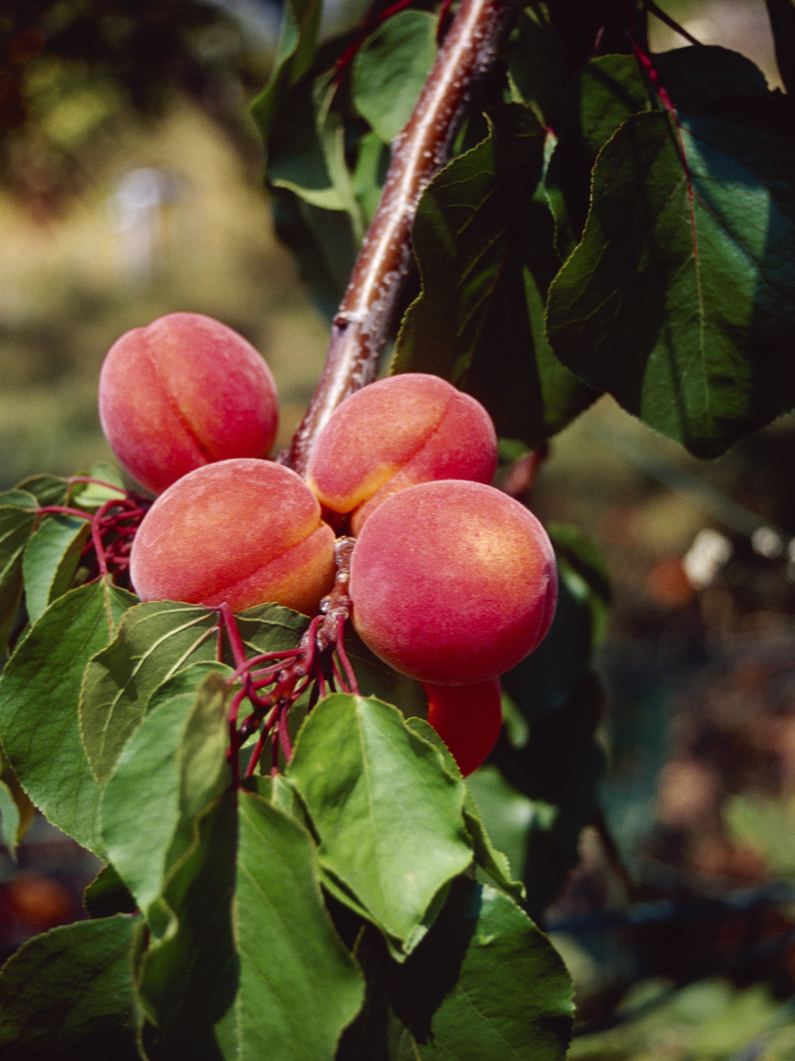 Spray Program for Peach Trees | Home Guides | SF Gate