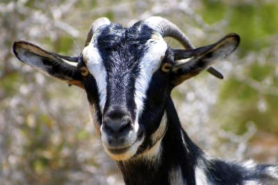 87578080 XS - Is Goat Manure Good For Vegetable Gardens