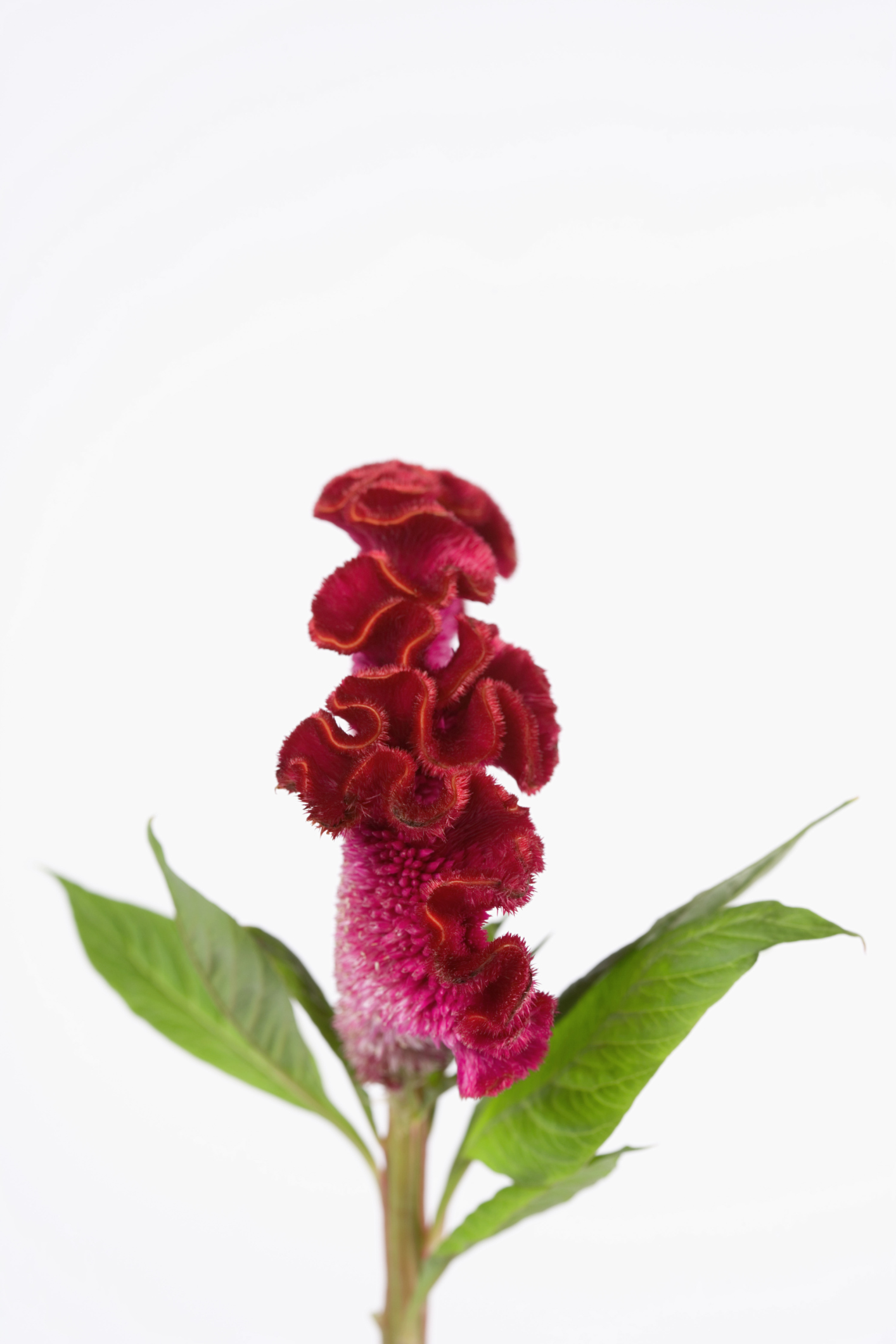 Celosia plant care information home guides sf gate mightylinksfo