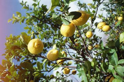 What Are The Causes Of Thorns On A Lemon Tree Home Guides Sf Gate