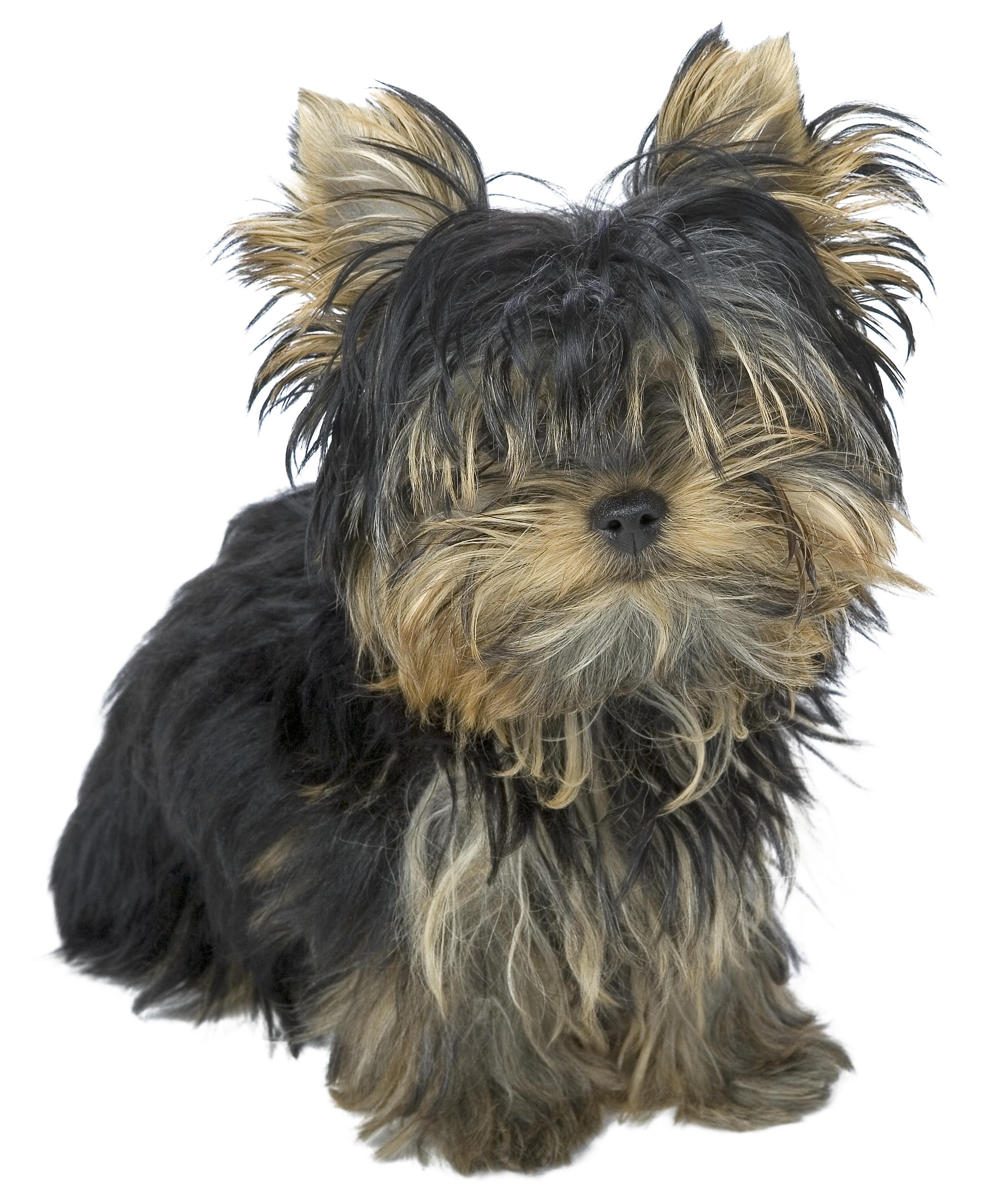 Cortes De Pelo Básicos Para Perros Yorkshire Terrier
