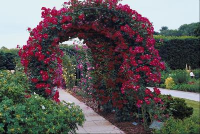 How Much Room Does A Climbing Rose Need On An Arbor Home Guides