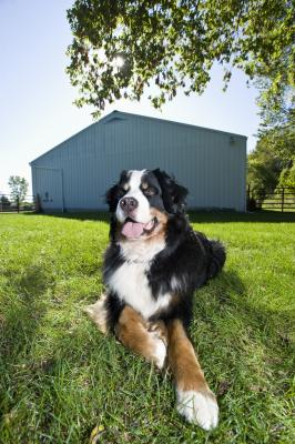 Controlling The Shedding Of A Bernese Mountain Dog Pets