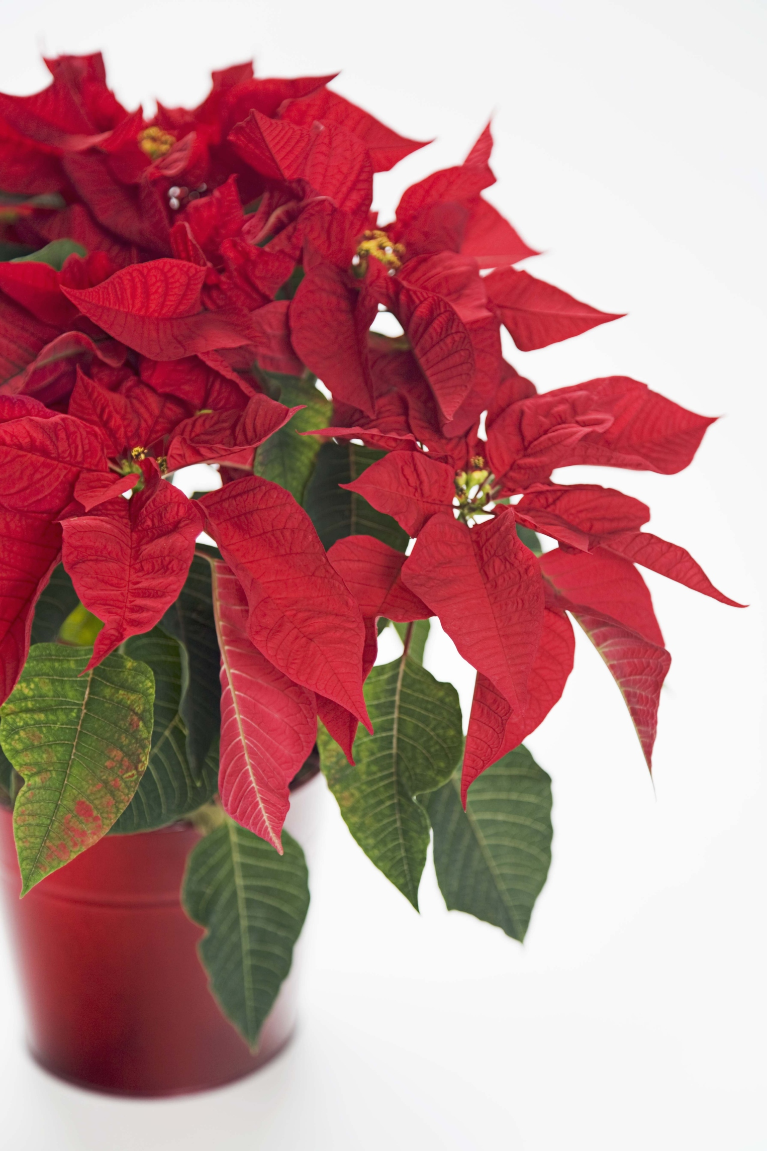 Poinsettia care at home 95