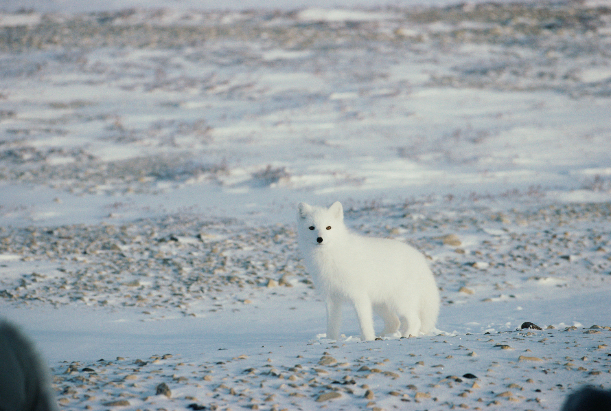 Animals Of Cold Desert Biomes Sciencing
