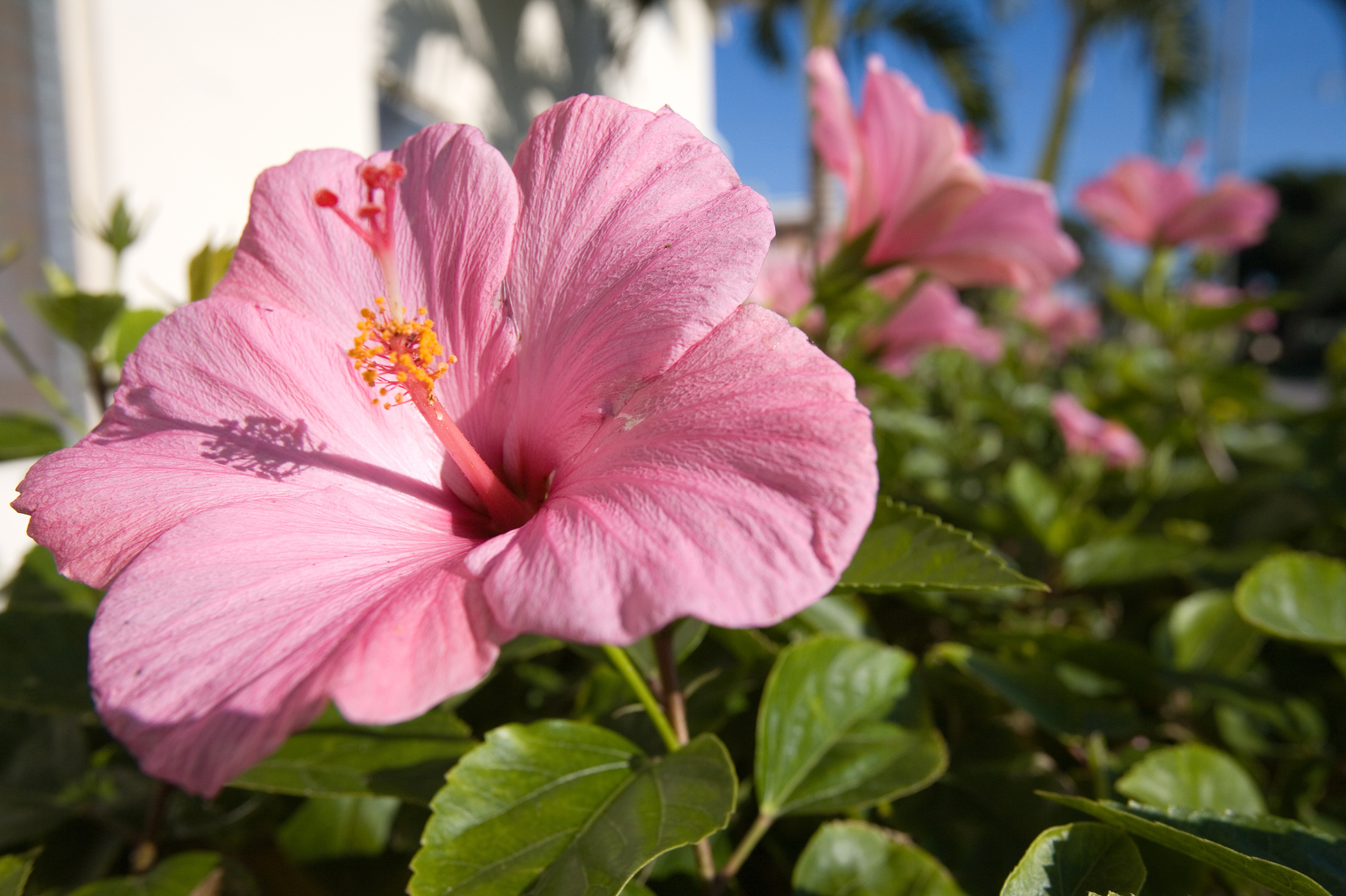 The differences between a rose of sharon a hibiscus home guides the differences between a rose of sharon a hibiscus home guides sf gate izmirmasajfo