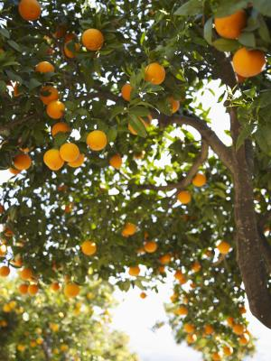 How To Diagnose Citrus Bark Diseases With Cracking And Peeling