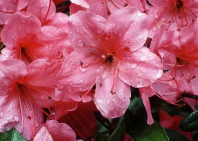 How To Keep Azaleas From Wilting After Being Cut Home Guides Sf Gate
