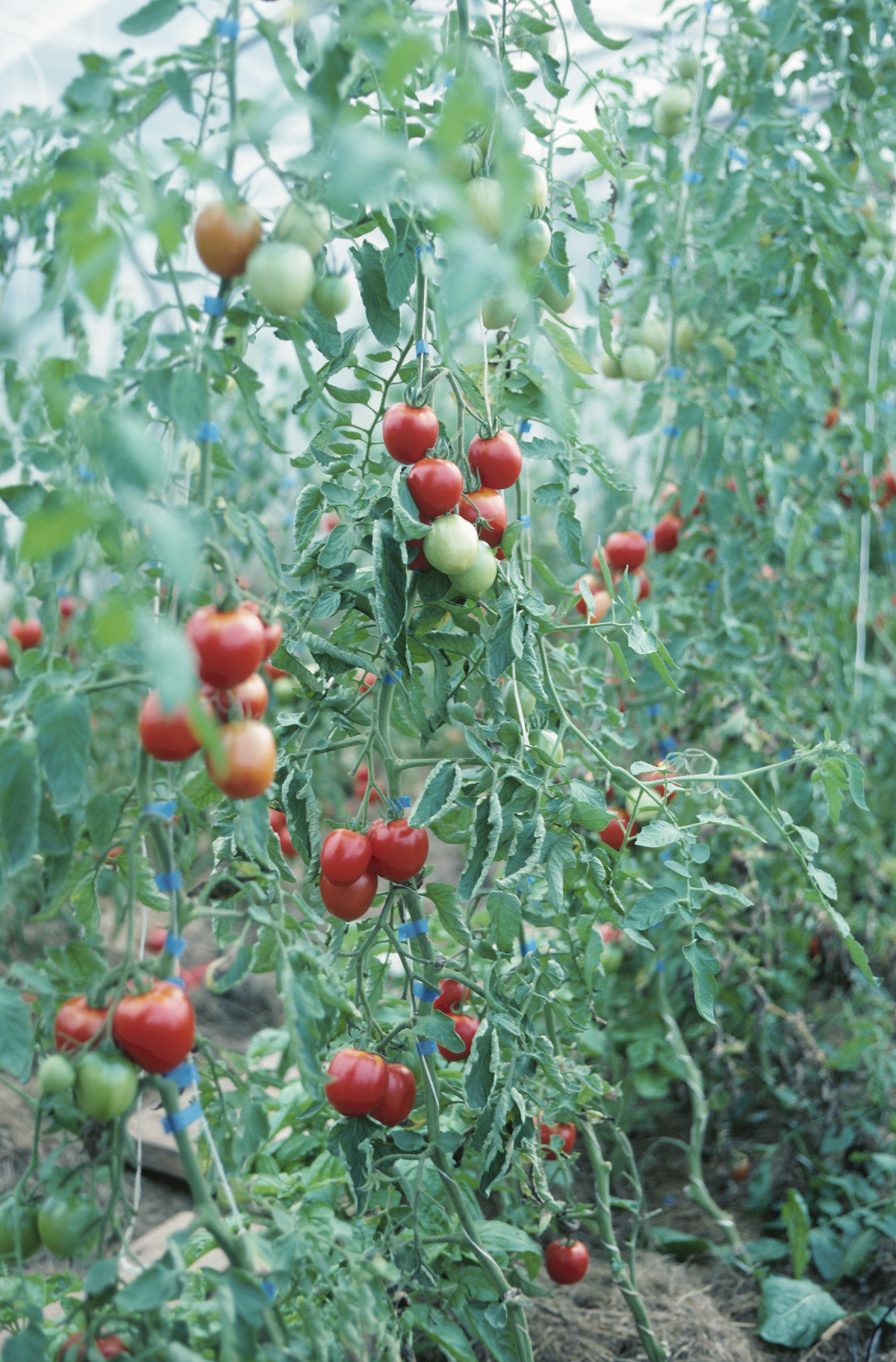 Curling Leaves & Tomato Plant Diseases   Home Guides   SF Gate