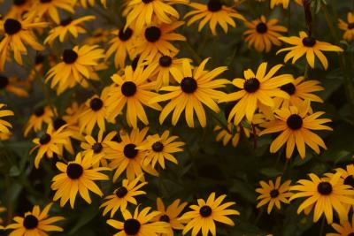 Types Of Yellow Daisies With Black Centers Photo about large group of wild yellow and brown daisies in smoky mountains. types of yellow daisies with black centers