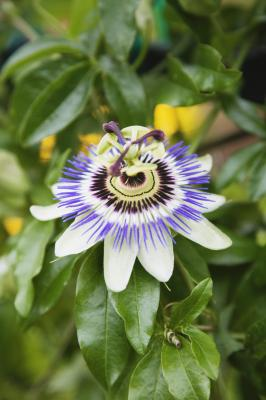 Types Of Passionflower That Grow On Vines Home Guides Sf Gate