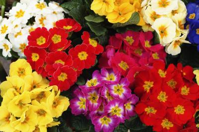 How Much Sun For Primroses