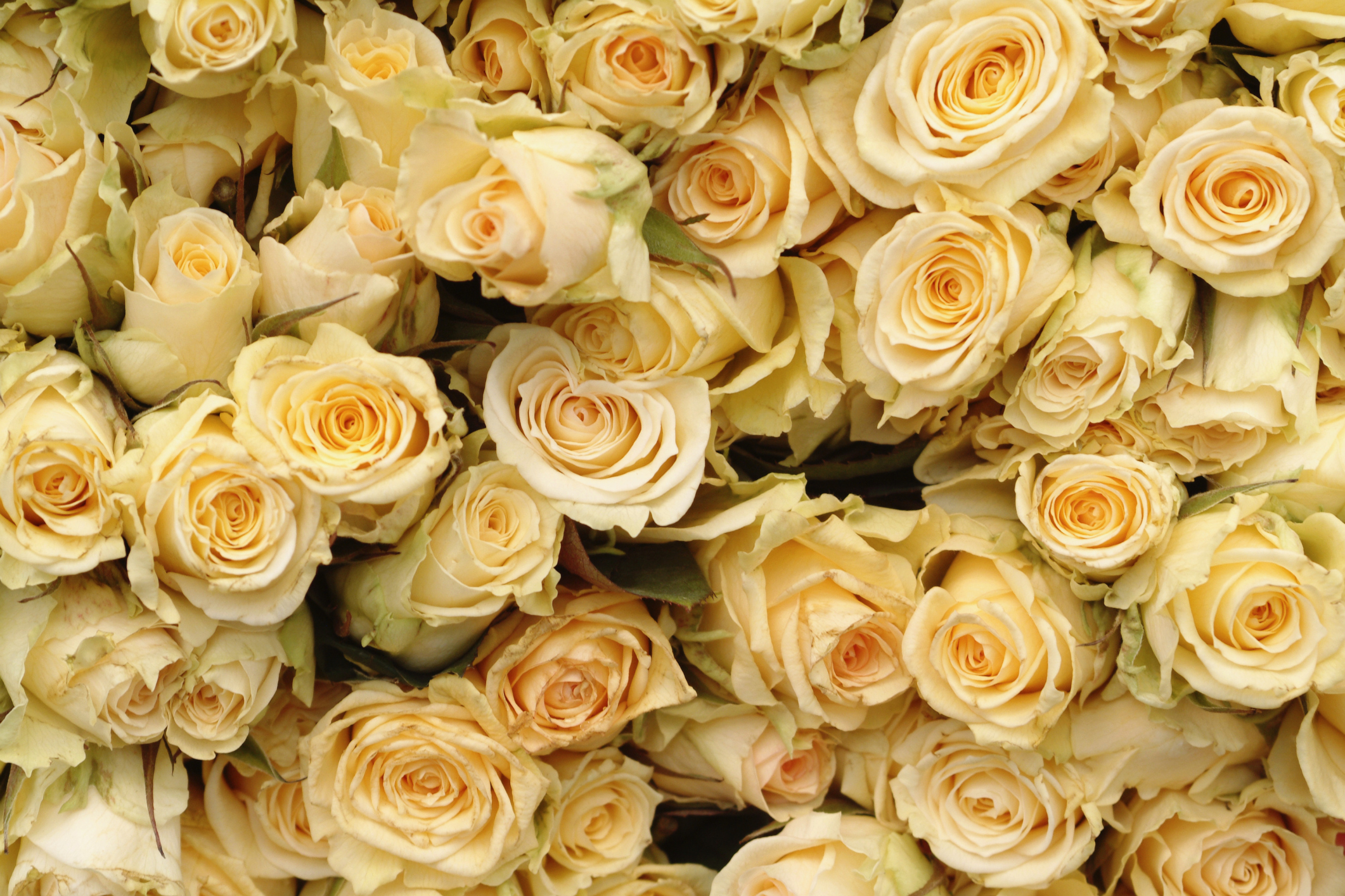 The Meaning Of A Gold Rose Garden Guides