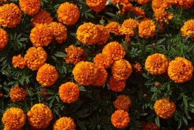 How To Prune Marigolds Home Guides Sf Gate