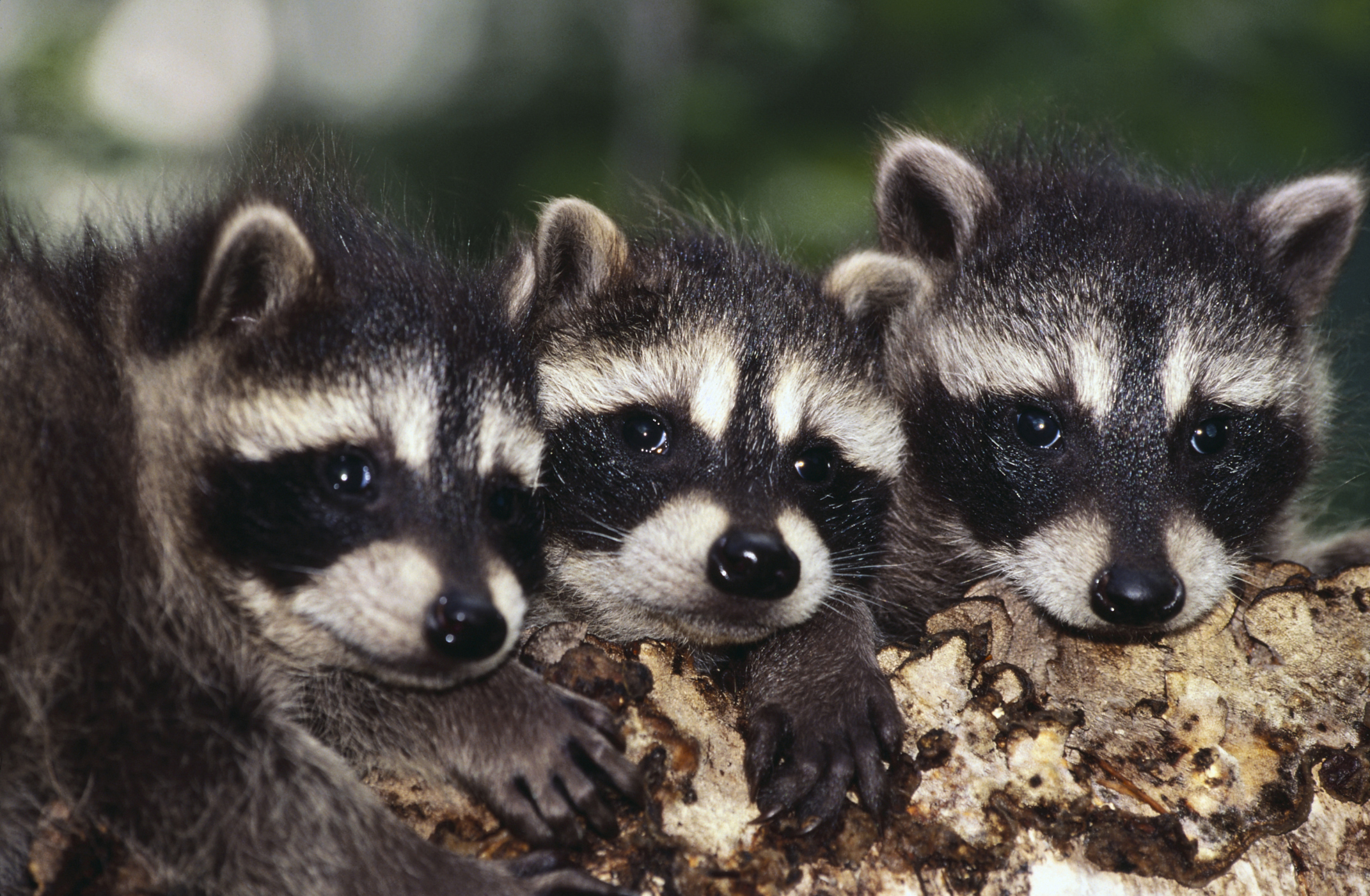 How to Tell a Male From a Female Raccoon | Animals - mom me