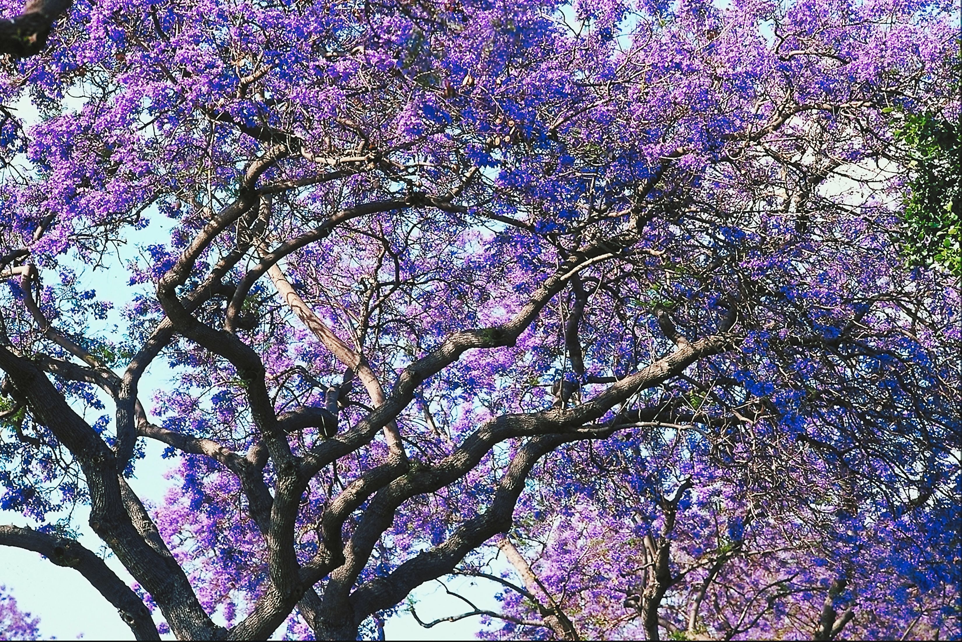 What Types Of Trees Have Purple Flowers Home Guides Sf Gate