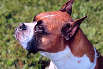 Shedding Times for Boxers - Pets