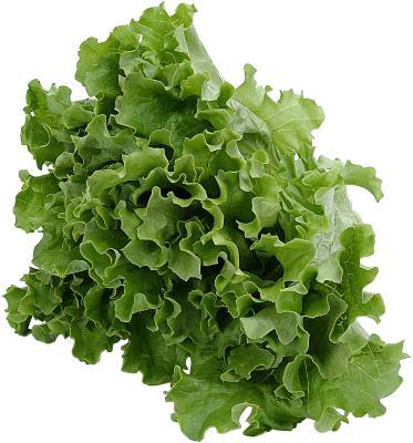 Tall Lettuce Plant