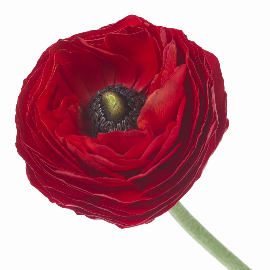 Is Ranunculus A Perennial Or An Annual Home Guides Sf Gate