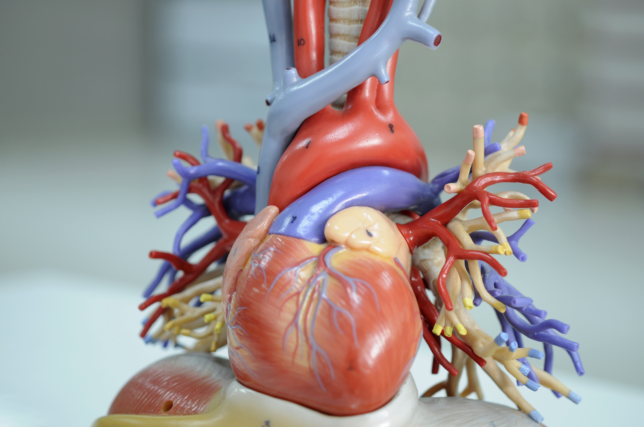 Human Heart Science Projects | Sciencing