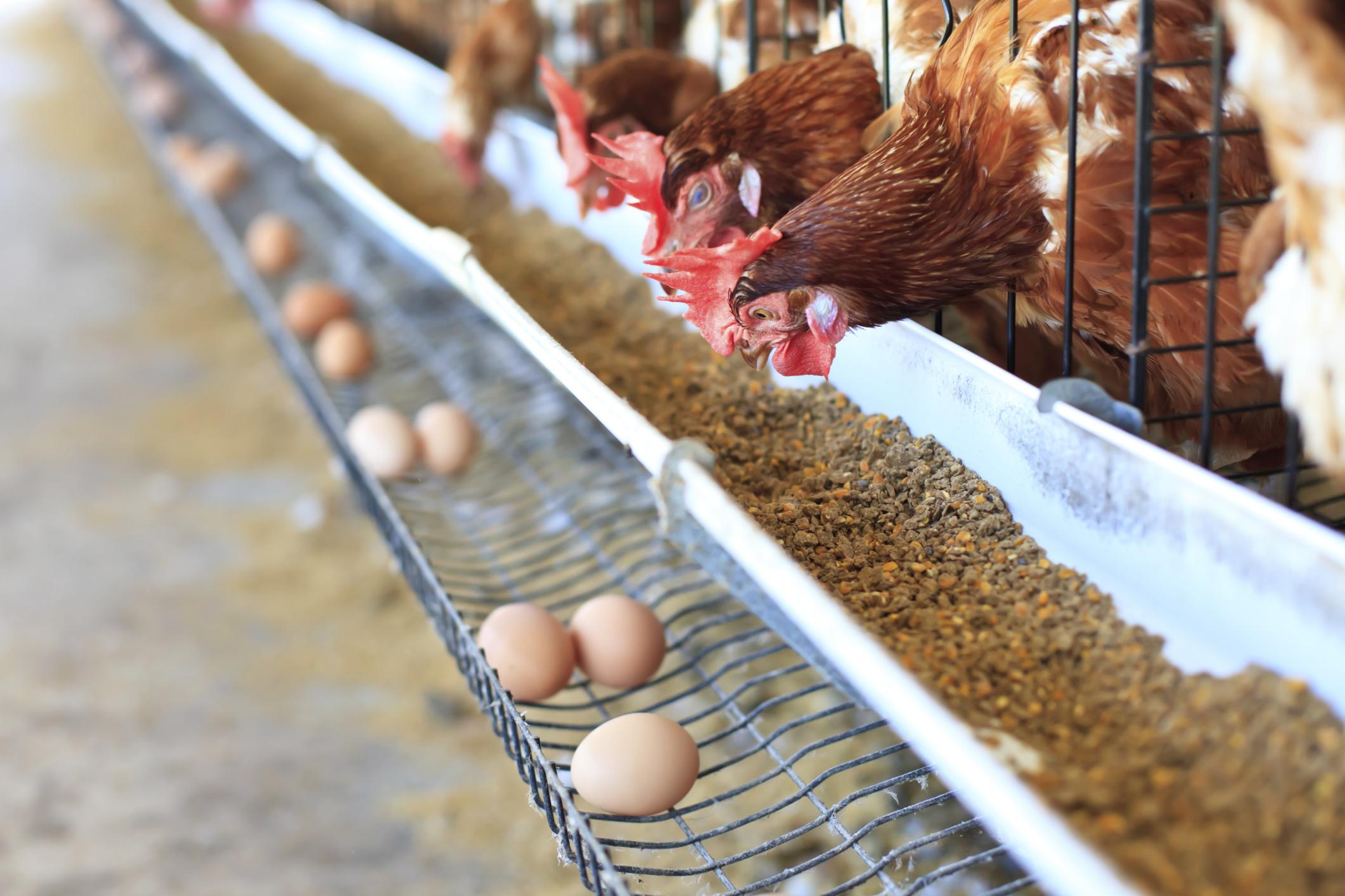 How Do Chickens Fertilize Eggs? | Sciencing