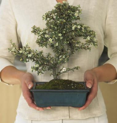 Serissa Bonsai Trees