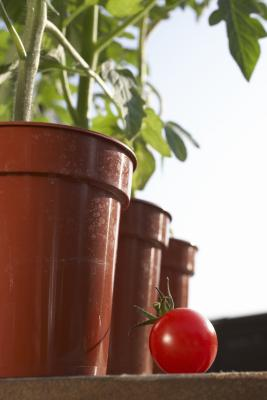 How To Grow Tomatoes At Home In A Pot Home Guides Sf Gate