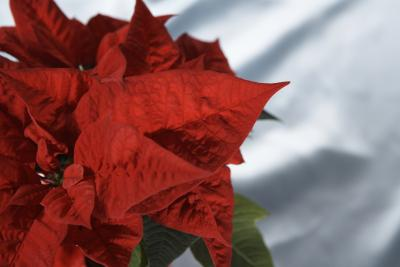 How To Make A Poinsettia S Leaves Turn Red Home Guides Sf Gate